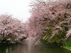 弘前桜.jpg